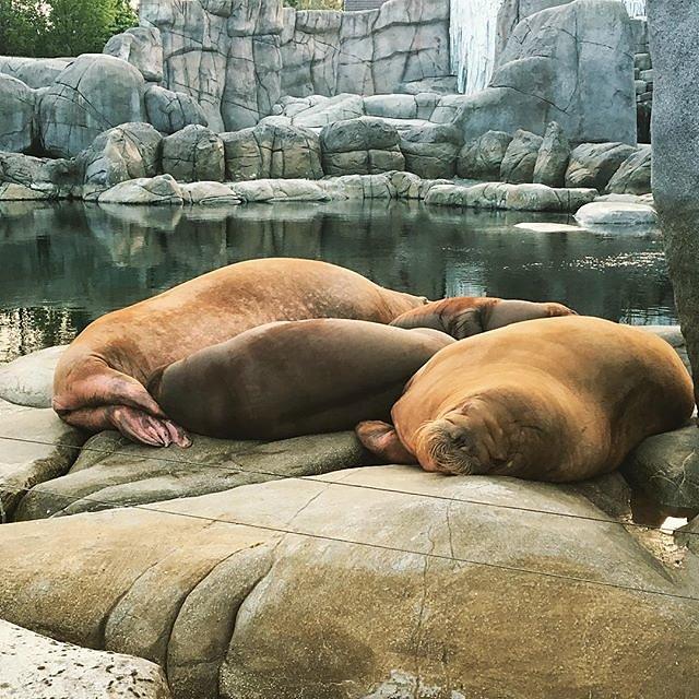 #sleep #sleepinggiants #walrus #hagenbeckstierpark